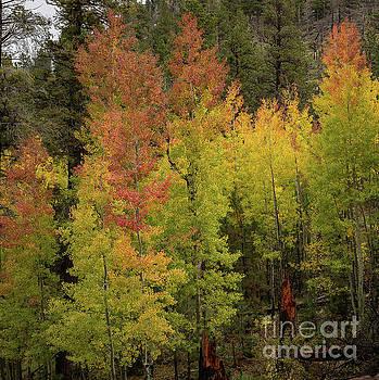 Fall Trees by Jon Vemo