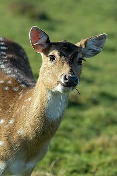 Fallow Deer by Steev Stamford