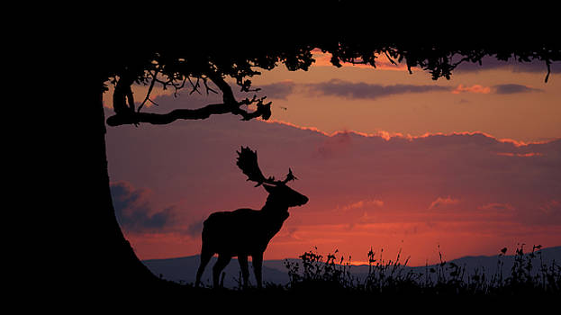 Fallow Stag at sunset by Andy Beattie Photography