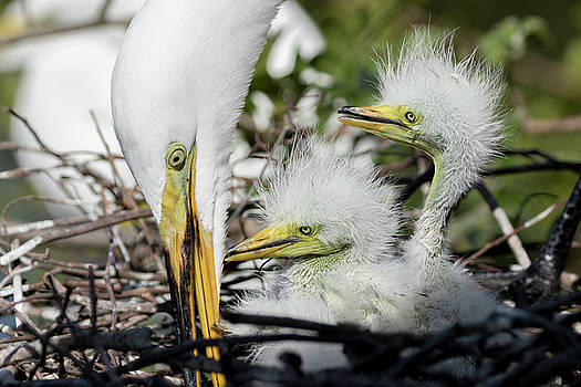 Great White Egret Family Time by Darrell Gregg