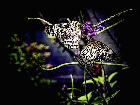 Farfalla by Robin Zygelman