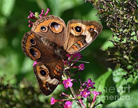 Cindy Treger - Fascinating Pattern Of A Common Buckeye