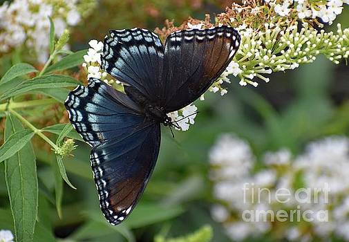 Cindy Treger - Fascinating Red-spotted Purple