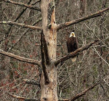 Favorite Perch- Bald Eagle by Kelly Kennon