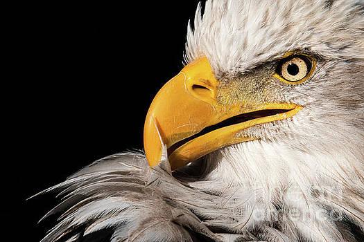 Feather Preening by Eyeshine Photography