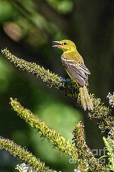 Female Baltimore Oriole by Cindy Treger