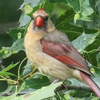Female Cardinal by David Bannwart