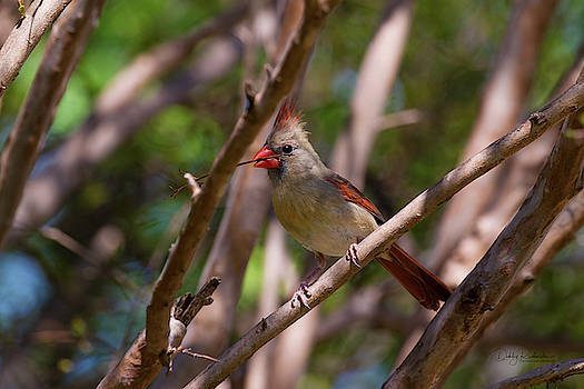 Female Cardinal  by Debby Richards
