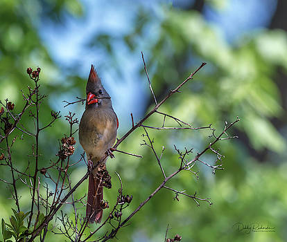 Female Cardinal gathering nesting material by Debby Richards
