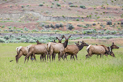 Julieta Belmont - Female Elk Herd