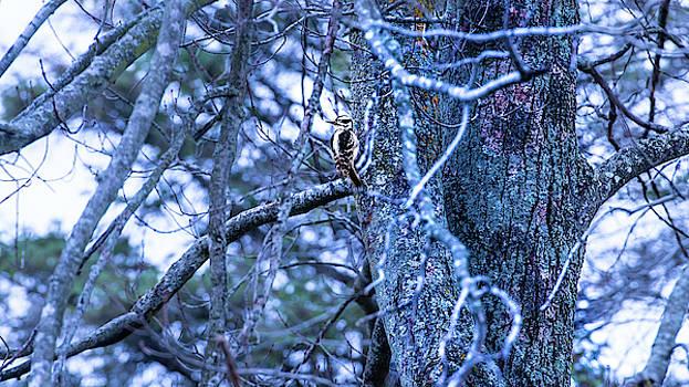 onyonet  photo studios - Female Hairy Woodpecker