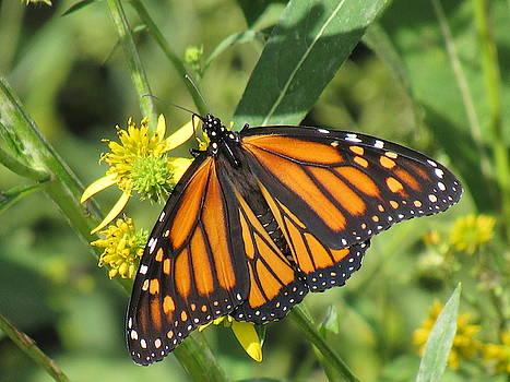 Female Monarch Butterfly by Mandy Byrd