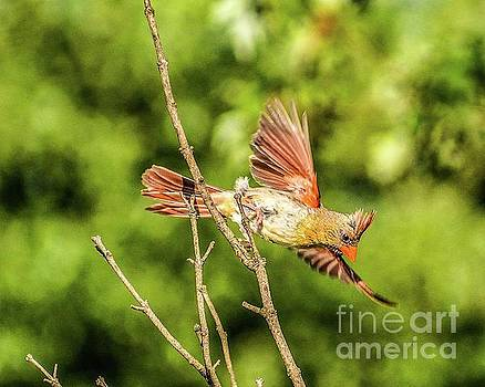 Female Northern Cardinal Taking Off by Cindy Treger