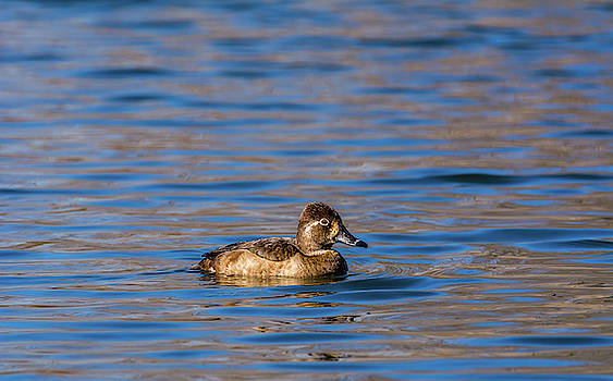Female Ring-necked Duck by Marv Vandehey