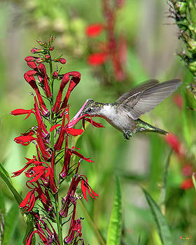 Female Ruby-throated Hummingbird DSB0323 by Gerry Gantt