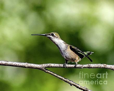 Cindy Treger - Female Ruby-throated Hummingbird Profile