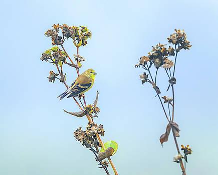 Female Yellow Finch by Dan Sproul