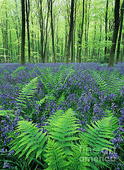 Ferns among bluebells by Colin Roberts