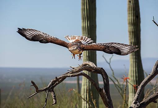 Ferruginous Hawk in Flight by Fred Hood