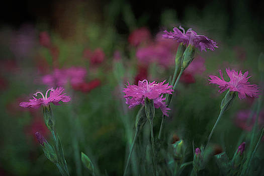 Field of Pink Dianthus  by Mary Lynn Giacomini