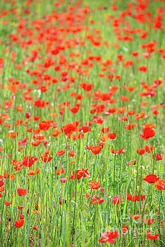 Field of poppies by Delphimages Photo Creations