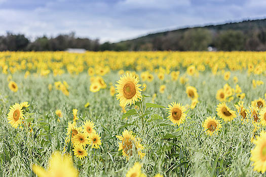 Field of Sunflowers With Blue Sky by Susan Schmidt