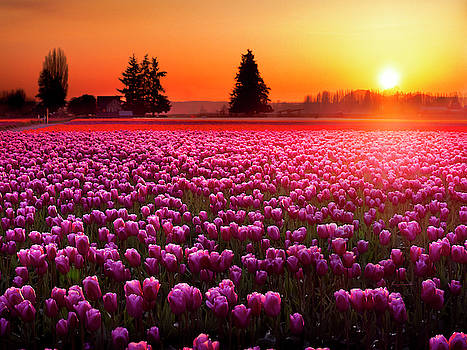 Field of Tulips at Sunset 2 by Penny Lisowski