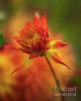 Fiery Dahlia Bloom Soft Light by Mike Reid