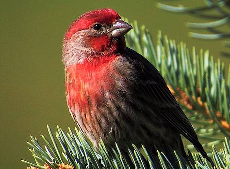 Finch in the Pine  by Lori Frisch