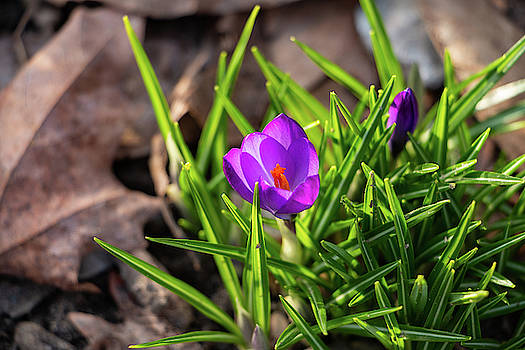 First Crocus of 2019 by Jeff Severson