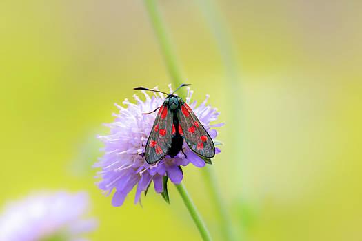 Five spot burnet moth on a purple flower by Scott Lyons