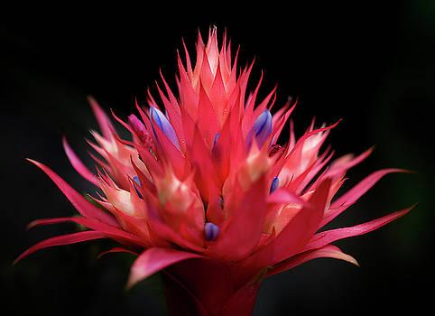 Flaming Flower by John Rodrigues