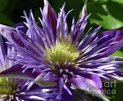 Flawless Crystal Fountain Clematis  by Cindy Treger