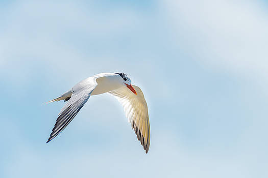 Flight of Royal Tern Catching the Sunlight by Debra Martz
