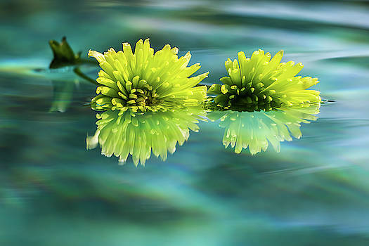 Floating Daisies 2 by Dawn Richards