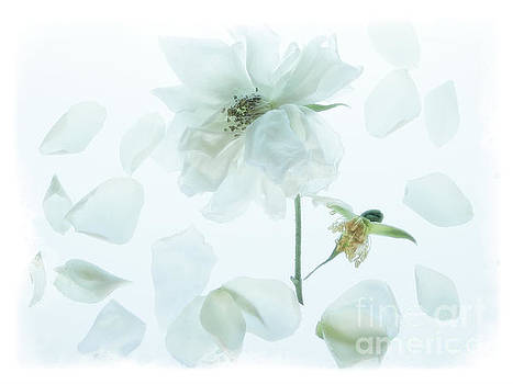 Floating White Rose Petals by Ella Kaye Dickey