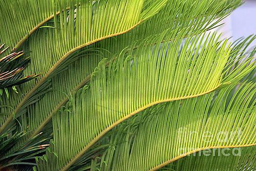Florida Palm Feathers by Karen Adams