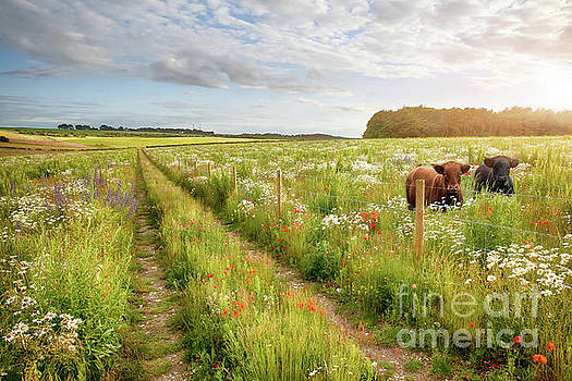 Simon Bratt Photography LRPS - Flower meadow tracks and two cows