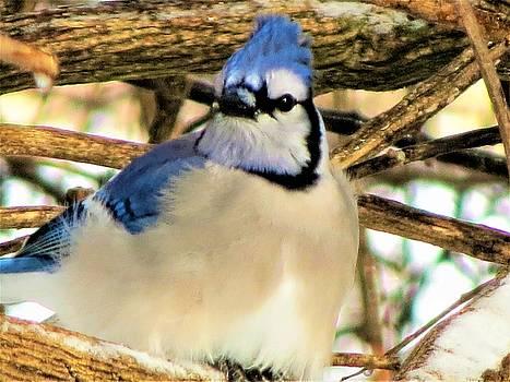 Fluff Blue Jay by Vijay Sharon Govender