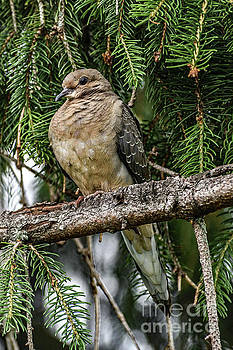 Fluffy Mourning Dove by Cindy Treger