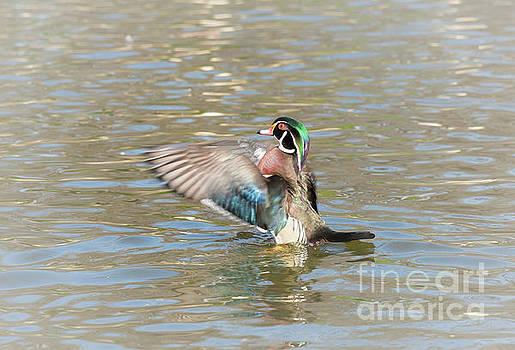 Fluttering Wood Duck by Robert Frederick