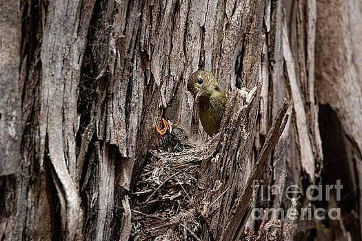 Flycatcher Nest 3357 by Craig Corwin