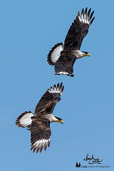 Flying Caracaras by David Cutts
