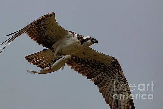 Flying Fish-Overcast Sky 3678 by Craig Corwin
