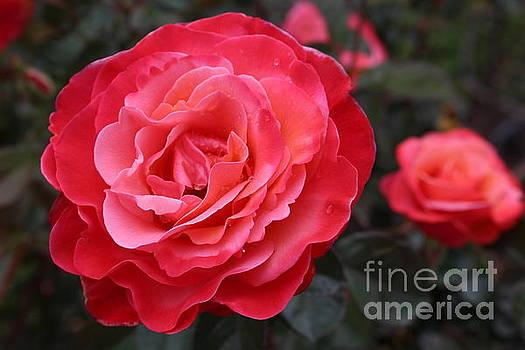 Folklorico Rose by Katherine Erickson