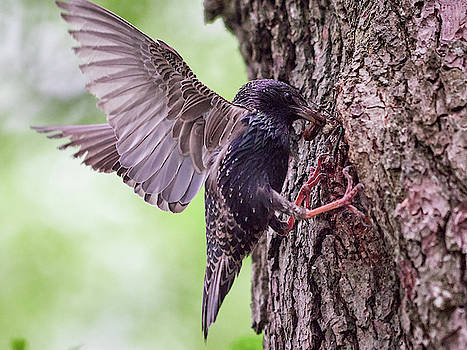 Food for the kids. Common Starling by Jouko Lehto