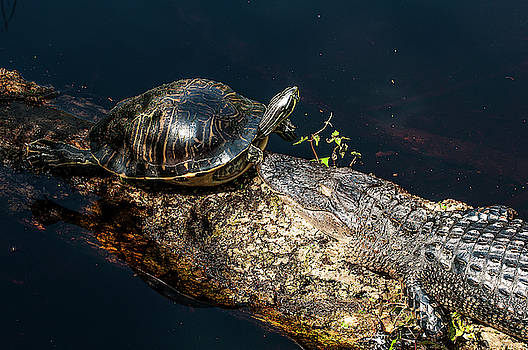 Foolhardy Turtle by Norman Johnson