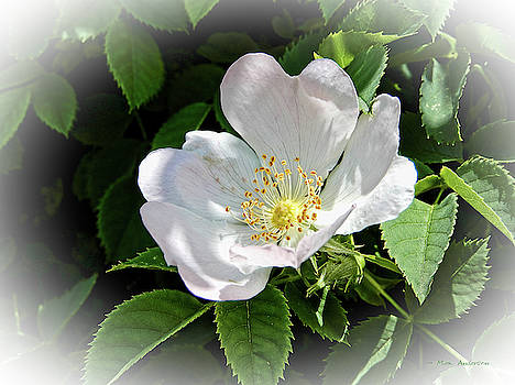For The Love of a Wild Rose by Mick Anderson