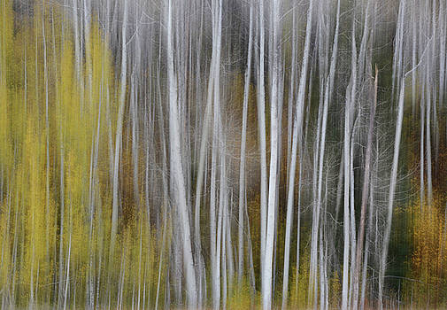 Forest Illusions- Autumn Aspens by Whispering Peaks Photography