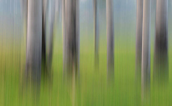 Forest Illusions- Grove of Aspen by Whispering Peaks Photography